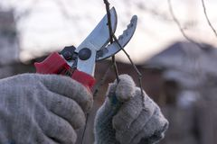 Scissors cut a branch of a tree. Scissors cut off a tree branch, hands in working gloves, cleaning of trees stock photography