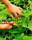 Scissors cut sweet potato leaf Stock Images