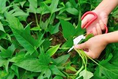 Scissors cut sweet potato leaf Royalty Free Stock Photo