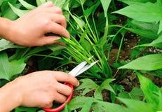 Scissors cut sweet potato leaf Stock Photography