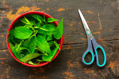 Scissors and fresh green nettle leaves in a red bowl Royalty Free Stock Image