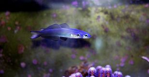 Scissortail Dartfish - Ptereleotris evides. The Scissortail Goby, also known as the Scissortail Dartfish, has a white head and blue body with large dorsal and stock photography