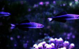 Scissortail Dartfish - Ptereleotris evides. The Scissortail Goby, also known as the Scissortail Dartfish, has a white head and blue body with large dorsal and stock images