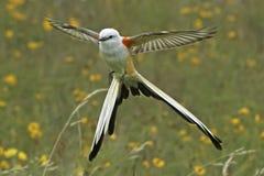 Scissortail flycatcher stock photo