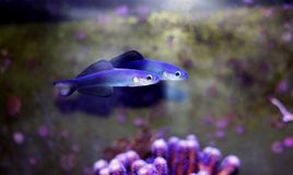 Scissortail Dartfish - Ptereleotris evides. The Scissortail Goby, also known as the Scissortail Dartfish, has a white head and blue body with large dorsal and royalty free stock photography