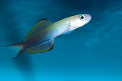 Scissortail Goby (Ptereleotris Evides) Royalty Free Stock Images