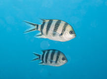 Scissortail sergeant fish swimming in blue water Stock Images