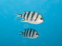 Scissortail-Sergeantfischschwimmen im blauen Wasser Stockbilder