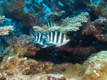 Scissortail Sergeants, Great Barrier Reef, Australia Royalty Free Stock Image