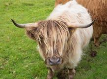 Scittish średniogórza krowa Fotografia Stock