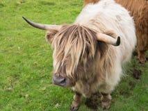 Scittish średniogórza krowa Obraz Royalty Free