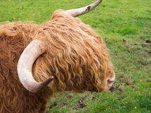 Scittish highland cow Stock Image