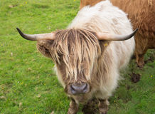 Scittish highland cow Stock Photography