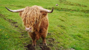 Scittish highland cow stock footage
