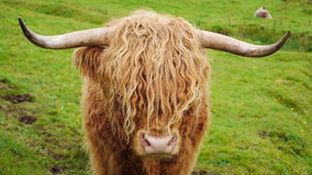 Scittish highland cow stock video footage