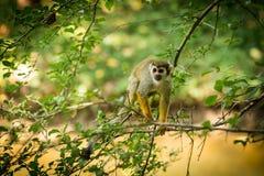 Sciureus común del Saimiri del mono de ardilla que camina en una rama de árbol Imagen de archivo
