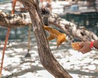 Sciurus auf einem Baum Lizenzfreies Stockbild