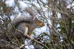 Sciurus carolinensis Royalty Free Stock Photos