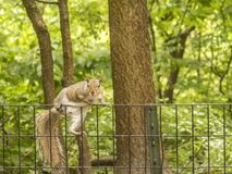 Sciurus carolinensis, common name eastern Royalty Free Stock Image