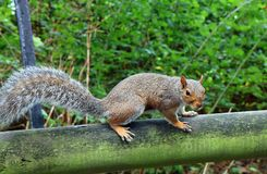Sciurus carolinensis, eastern gray squirrel. Stock Images