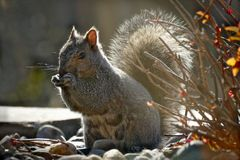 Sciurus carolinensis eastern gray squirrel or grey squirrel in backlit scene stock photo