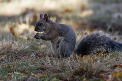 Sciurus carolinensis - Eastern grey squirrel stock photo