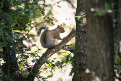An Eastern Grey Squirrel Sciurus carolinensis Sits in a Tree Royalty Free Stock Images