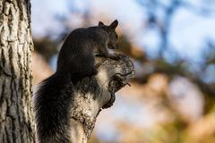 Sciurus carolinensis - Eastern grey squirrel stock images