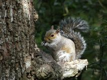 Sciurus carolinensis - Grey Squirrel, invasive species to the UK, imported from Northern America. Into Europe royalty free stock image