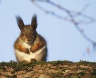 Sciurus dello scoiattolo rosso vulgaris fotografia stock libera da diritti