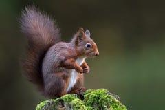 Sciurus do esquilo vermelho vulgar imagem de stock