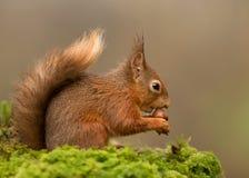 Sciurus do esquilo vermelho vulgar Foto de Stock Royalty Free