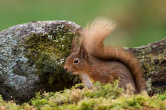 Sciurus do esquilo vermelho vulgar fotos de stock royalty free