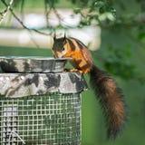 Sciurus eurasien d'écureuil rouge vulgaris Images stock