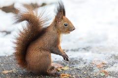 Sciurus euroasiatico dello scoiattolo rosso vulgaris su terra che cerca i semi ed alimento in neve Nella stagione invernale è dif immagini stock libere da diritti