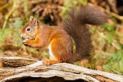 Sciurus européen d'écureuil rouge vulgaris dans le beau Se naturel Photographie stock