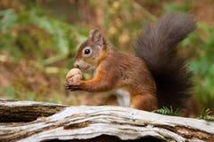 Sciurus européen d'écureuil rouge vulgaris dans le beau Se naturel Photographie stock libre de droits