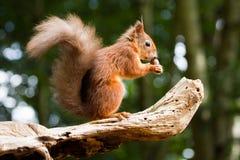 Sciurus européen d'écureuil rouge vulgaris dans le beau Se naturel Photo stock