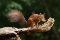 Sciurus européen d'écureuil rouge vulgaris dans le beau Se naturel Image stock
