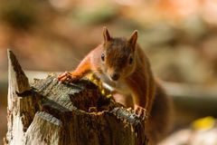 Sciurus européen d'écureuil rouge vulgaris dans le beau Se naturel Images libres de droits