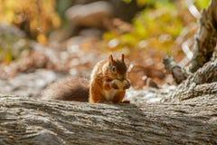 Sciurus europeo dello scoiattolo rosso vulgaris in bello Se naturale Immagine Stock
