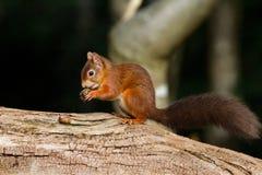 Sciurus europeo dello scoiattolo rosso vulgaris in bello Se naturale Fotografia Stock Libera da Diritti