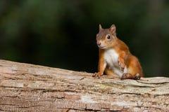 Sciurus europeo dello scoiattolo rosso vulgaris in bello Se naturale Fotografie Stock Libere da Diritti