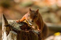 Sciurus europeo dello scoiattolo rosso vulgaris in bello Se naturale Immagini Stock Libere da Diritti