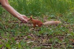 Sciurus, nutrição do Tamiasciurus Esquilo corajoso a menina alimenta um esquilo com as porcas no esquilo da floresta escolhe a po fotos de stock
