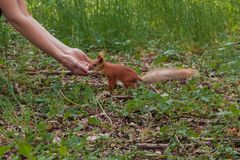 Sciurus, nutrizione del Tamiasciurus Scoiattolo coraggioso la ragazza alimenta uno scoiattolo con i dadi nello scoiattolo della f fotografie stock