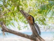 Sciurus på ett träd Royaltyfri Fotografi