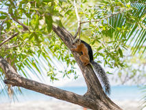 Sciurus on a Tree Royalty Free Stock Photography
