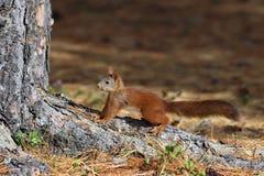 Sciurus vulgaris Κόκκινος σκίουρος το Σεπτέμβριο στο Yamal Peninsu στοκ φωτογραφία με δικαίωμα ελεύθερης χρήσης