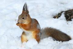 Sciurus vulgaris Κόκκινος σκίουρος το χειμώνα στο σιβηρικό taiga Στοκ Εικόνες